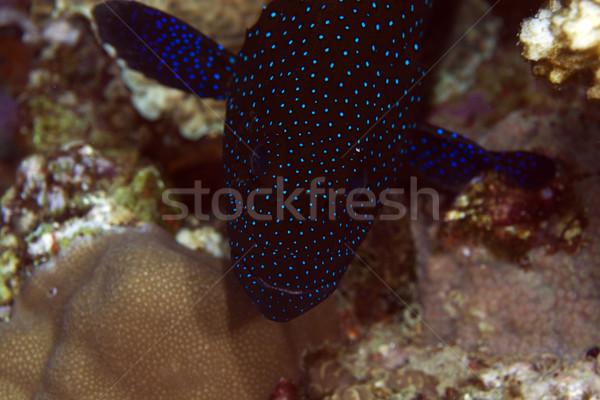 Páva közelkép Vörös-tenger víz hal kék Stock fotó © stephankerkhofs