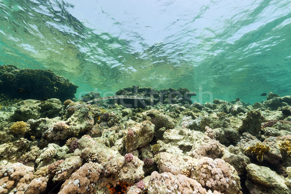 Foto d'archivio: Pesce · tropicali · mar · rosso · panorama · mare · sfondo