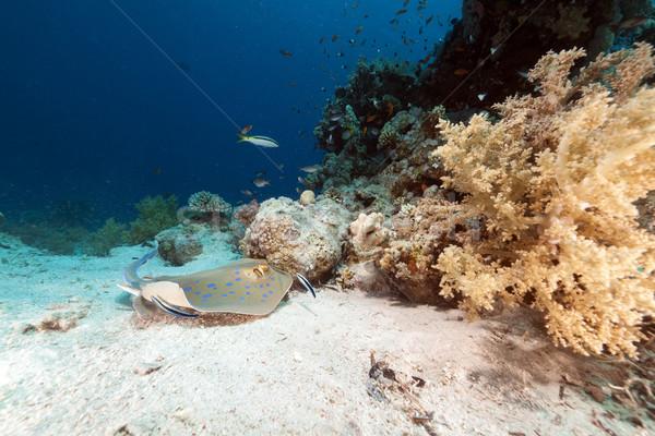 Rája Vörös-tenger víz hal természet tájkép Stock fotó © stephankerkhofs