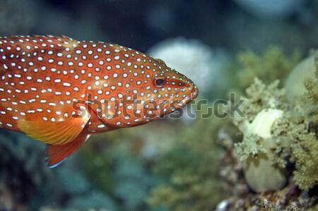 Korall Vörös-tenger víz iskola óceán zöld Stock fotó © stephankerkhofs