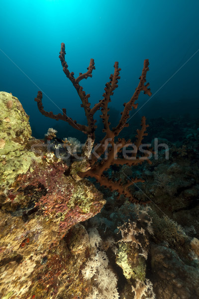 Dark cup coral (tubastrea coccinea). Stock photo © stephankerkhofs
