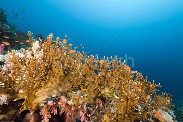 Tűz korall Vörös-tenger víz hal természet Stock fotó © stephankerkhofs