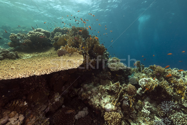 Stock fotó: Trópusi · Vörös-tenger · hal · természet · tájkép · tenger