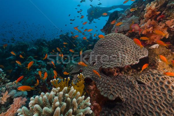 Búvár trópusi Vörös-tenger hal természet tájkép Stock fotó © stephankerkhofs