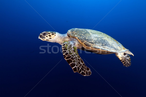 Tartaruga mar rosso pesce panorama mare sfondo Foto d'archivio © stephankerkhofs