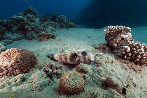 Masked puffer and tropical reef in the Red Sea. Stock photo © stephankerkhofs