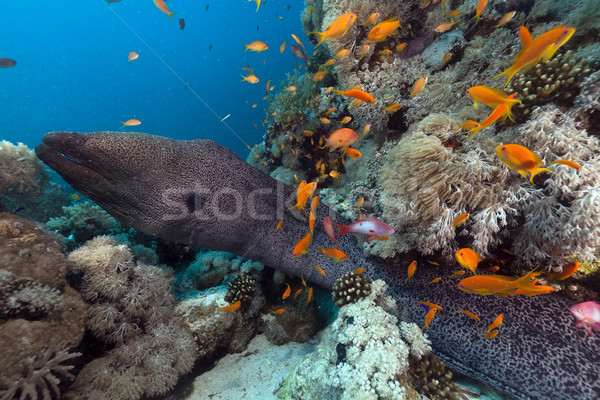 Giant moray in the Red Sea. Stock photo © stephankerkhofs