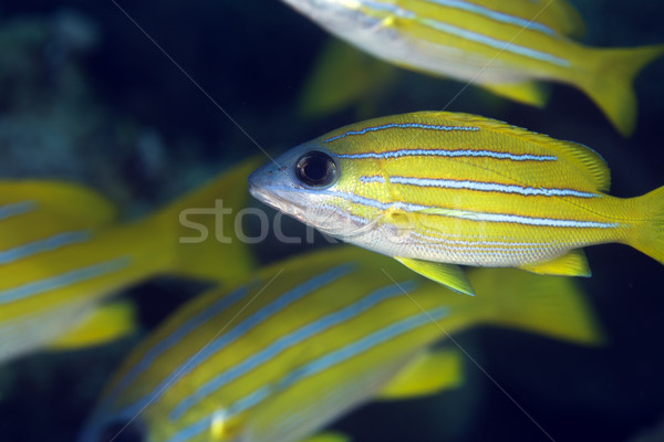 Blue-striped snapper in the Red Sea. Stock photo © stephankerkhofs
