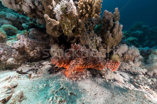 Scorpionfish  in the Red Sea. Stock photo © stephankerkhofs