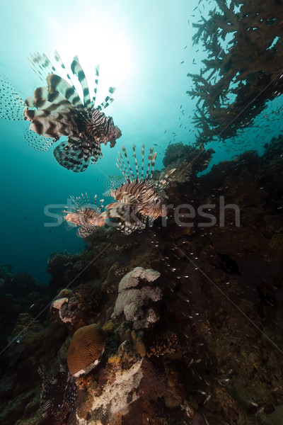 Lionfish (pterois miles) hunting in the Red Sea. Stock photo © stephankerkhofs