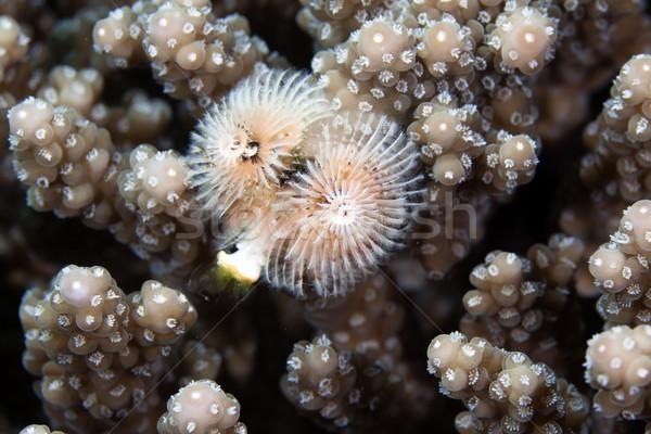 Karácsonyfa kukac Vörös-tenger víz hal kék Stock fotó © stephankerkhofs