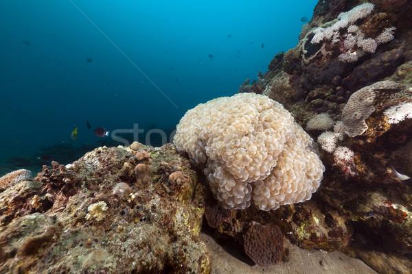 Foto d'archivio: Bolla · corallo · mar · rosso · acqua · pesce · natura