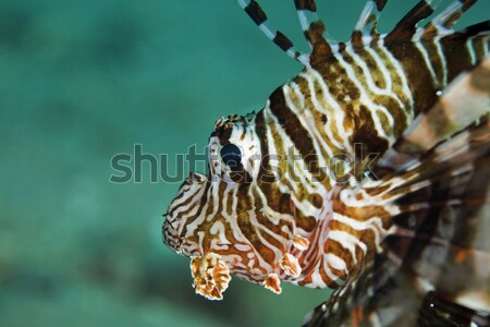 Lionfish close-up in the Red Sea. Stock photo © stephankerkhofs