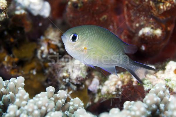 Stock fotó: Arab · Vörös-tenger · víz · hal · kék · élet