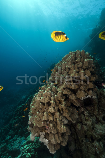 Butterflyfish and coral  in the Red Sea. Stock photo © stephankerkhofs