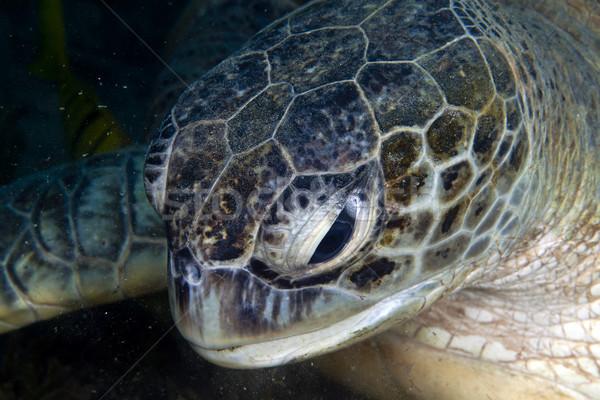 Közelkép zöld teknős tenger búvár tengeri Stock fotó © stephankerkhofs
