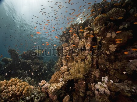 Glass fish and coral in the Red Sea. Stock photo © stephankerkhofs