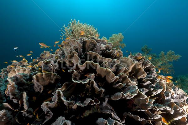 Foto d'archivio: Elefante · orecchio · corallo · mar · rosso · pesce · natura