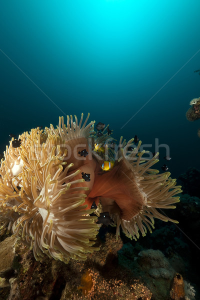 Magnificent anemone (heteractis magnifica) in the Red Sea. Stock photo © stephankerkhofs