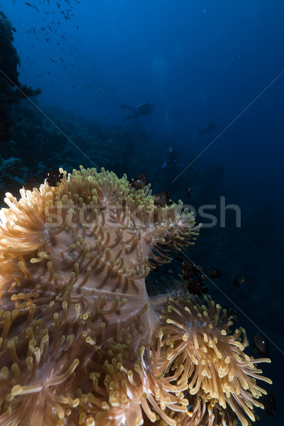 Magnificent anemone in the Red Sea. Stock photo © stephankerkhofs