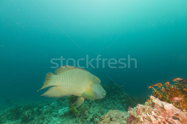 Napoleon wrasse in the Red Sea. Stock photo © stephankerkhofs