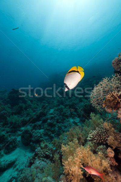 Lined butterflyfish (chaetodon lineolatus) in the Red Sea. Stock photo © stephankerkhofs