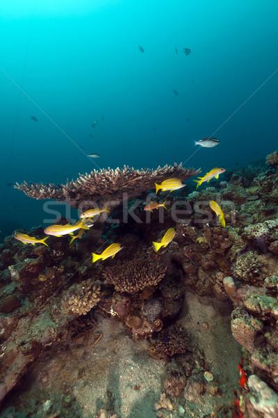 Trópusi hal korall Vörös-tenger hal víz természet Stock fotó © stephankerkhofs