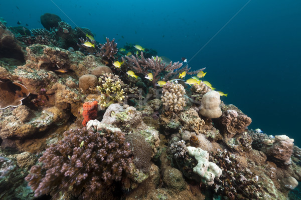 Tropical fish and coral in the Red Sea. Stock photo © stephankerkhofs