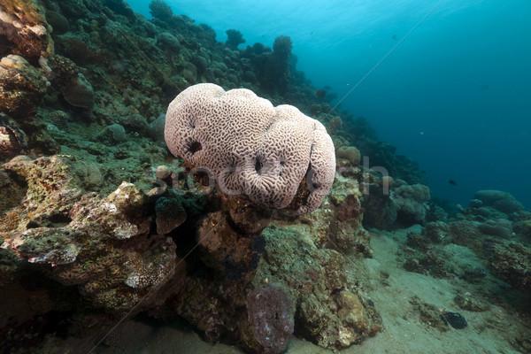 Agy korall Vörös-tenger víz hal természet Stock fotó © stephankerkhofs