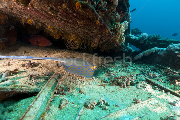 Bluespotted stingray at the Yolanda wreck in the Red Sea. Stock photo © stephankerkhofs