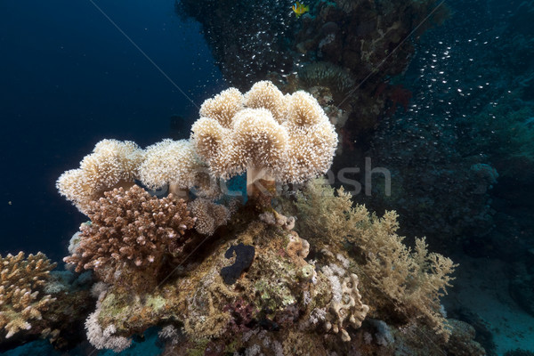 Leather coral and glassfish in the Red Sea. Stock photo © stephankerkhofs
