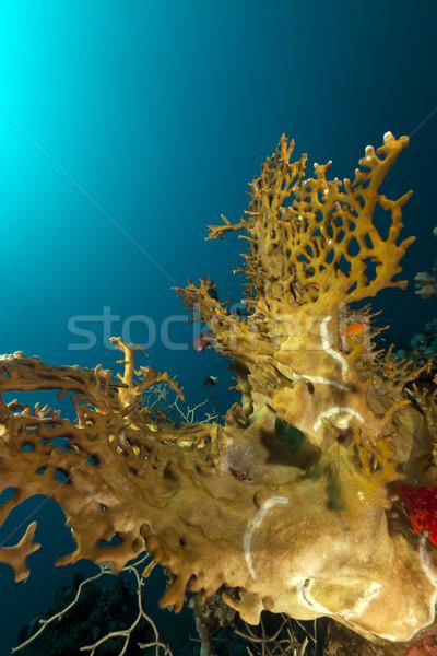 Stock fotó: Tűz · korall · Vörös-tenger · víz · hal · természet