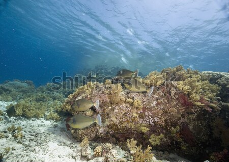 Fire coral and glassfish in the Red Sea. Stock photo © stephankerkhofs