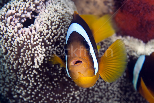 Anemonefish in a Haddon's anemone                                                                    Stock photo © stephankerkhofs