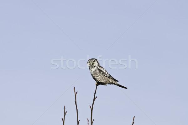 Kuzey şahin baykuş dışarı gün zaman Stok fotoğraf © stockfrank