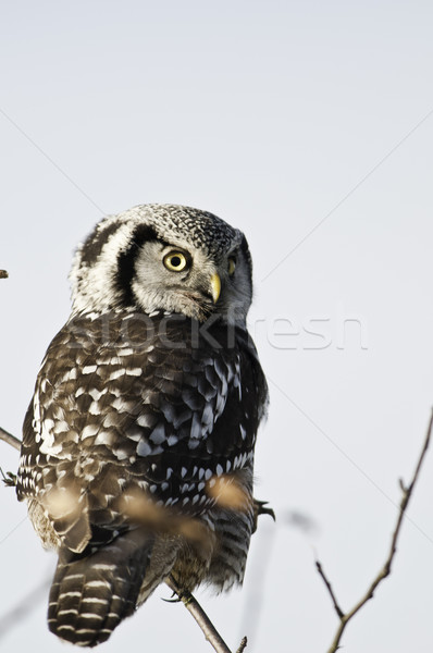 ястреб совы из день время Сток-фото © stockfrank