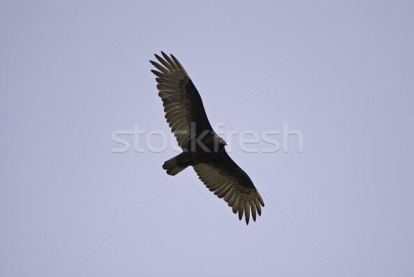 высокий Flying Турция гриф мнение Сток-фото © stockfrank