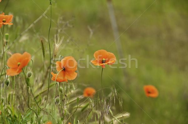 красный мелкий саду лет области Сток-фото © stockfrank