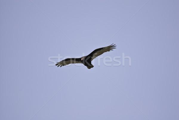 Турция гриф глядя еды высокий Flying Сток-фото © stockfrank
