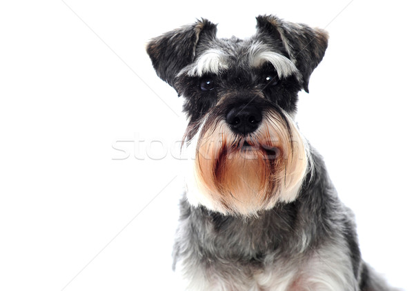 Stock photo: Small black and white miniature schnauzer dog