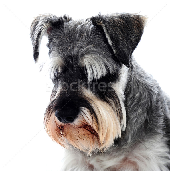 Black Schnauzer dog looking down Stock photo © stockyimages