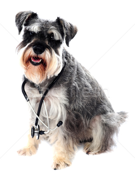 Schnauzer dog posing with stethoscope Stock photo © stockyimages
