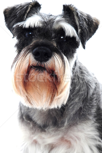 Black Schnauzer dog Stock photo © stockyimages