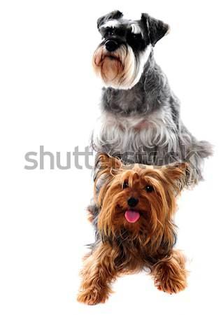 Schnauzer terrier Haustiere Hunde weiß Stock foto © stockyimages