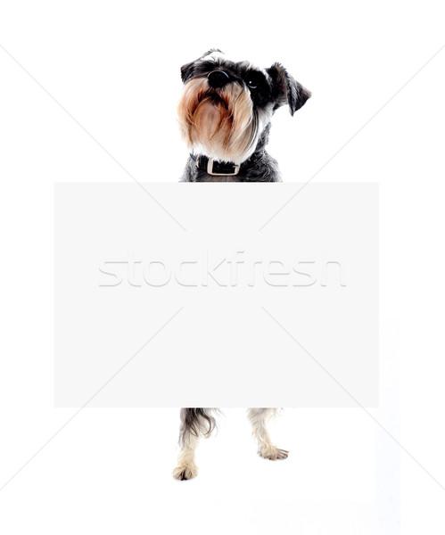 Schnauzer cão bandeira anúncio tempo Foto stock © stockyimages