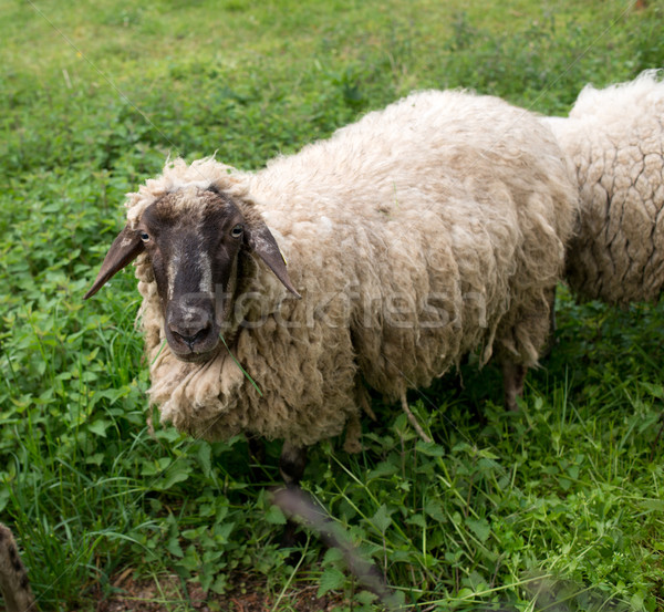 Black-faced sheep Stock photo © stokkete