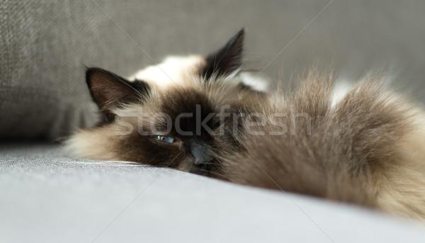 猫 寝 ソファ 美しい 見える カメラ ストックフォト © stokkete