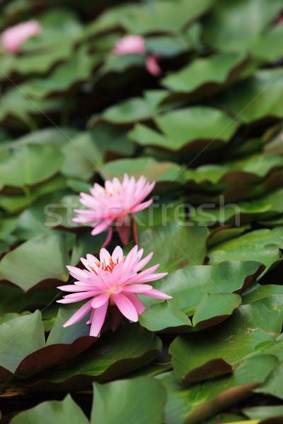Liliom lótuszvirág rózsaszín virág tó lótusz Stock fotó © stokkete