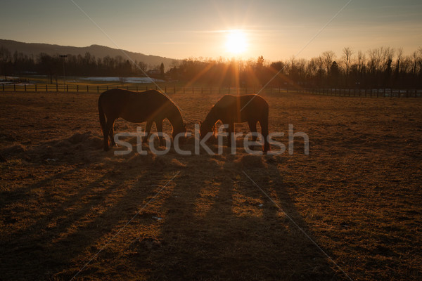 Horses grazing at sunset Stock photo © stokkete