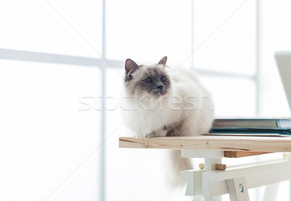 Lovely birman cat at home Stock photo © stokkete